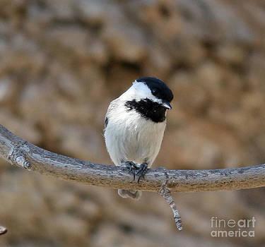 Black-capped Chickadee by Lori Tordsen