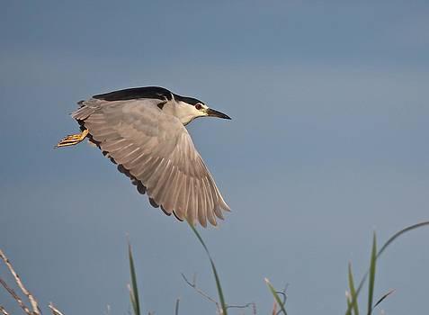 Black Crowned Night Heron Flight by John Dart