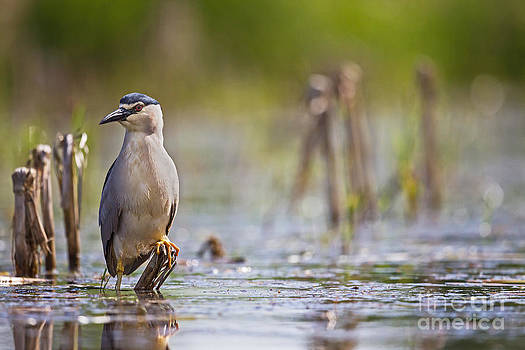 Black-crowned Night-Heron by Jean-Luc Baron