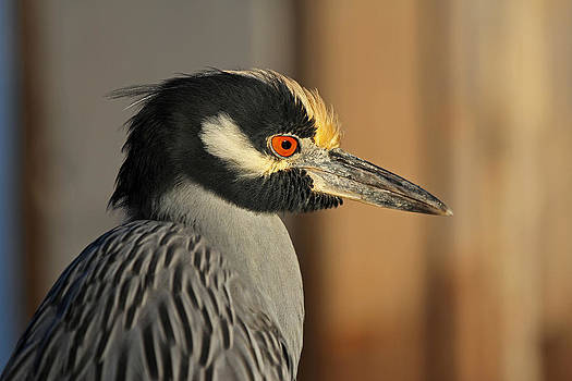 Juergen Roth - Black Crowned Night Heron