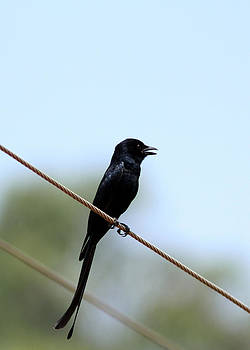 Ramabhadran Thirupattur - Black Drongo