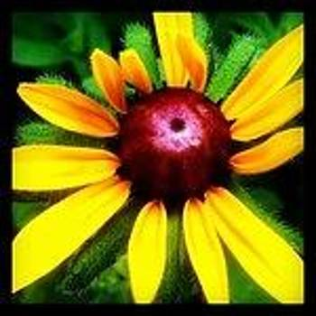 Black-eyed Susan by Laura Lawless
