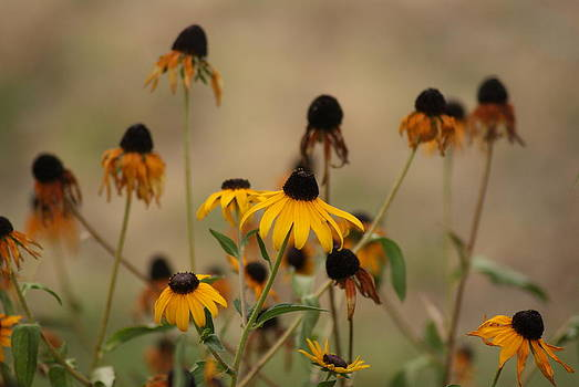 Black eyed Susan's by Michelle Cawthon