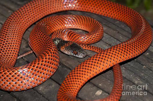 William H. Mullins - Black-headed Calico Snake