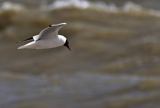 Black Headed Gull in flight Rye Harbour Kent England by Mr Bennett Kent