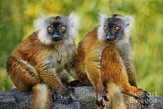Frans Lanting MINT Images - Black Lemur Female