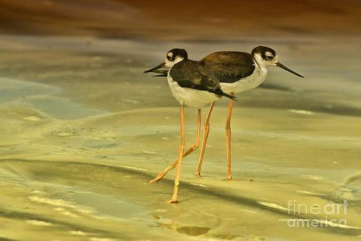 Deborah Benoit - Black-neck Stilt