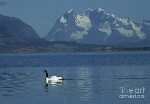 James Brunker - Black necked swan on Last Hope Sound