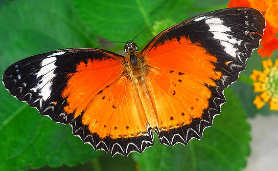 black orange Butterfly insect by Bhupendra Singh