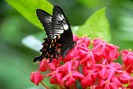 Black Red White Butterfly insect by Bhupendra Singh