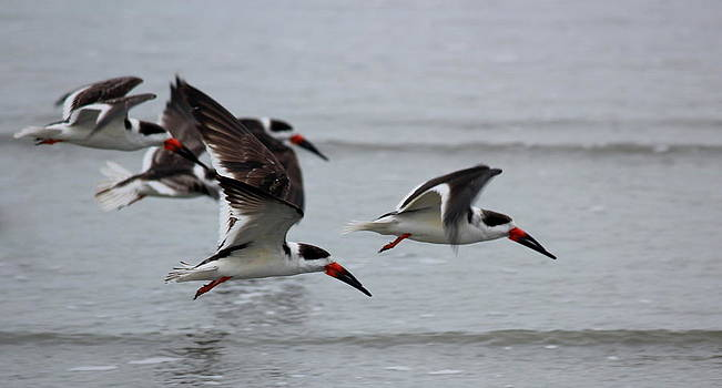 Rosanne Jordan - Black Skimmers in Flight