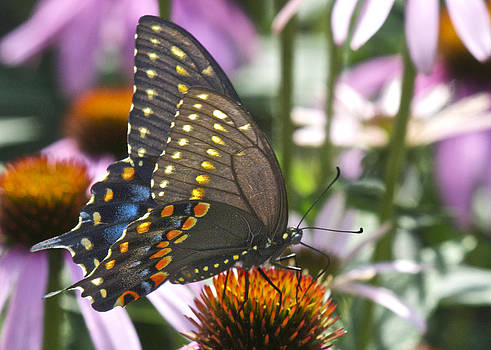 Michael Peychich - Black Swallowtail Butterfly