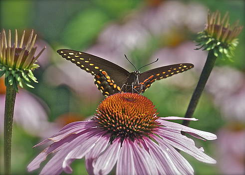 Michael Peychich - Black Swallowtail on Cone Flower