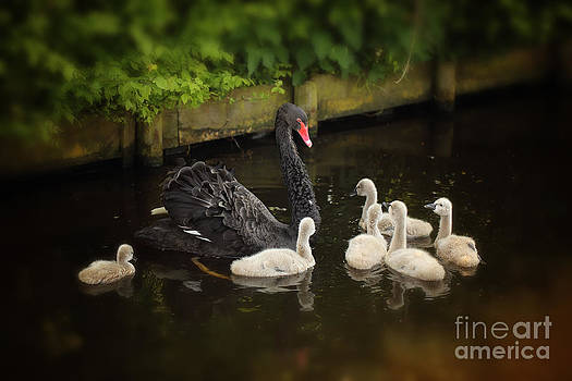 LHJB Photography - Black swan with baby swans