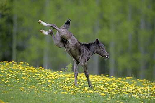 Rolf Kopfle - Black Welsh Mountain Pony Foal