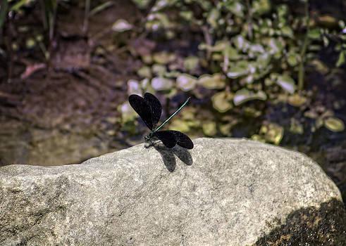 Black Winged Dragonfly by Teresa Wissen