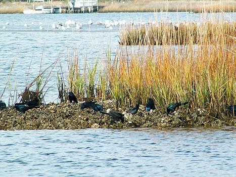 Blackbirds feeding on an oyster rock by Matthew Kay