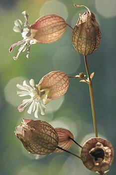 Bladder Campion by Rebeka Dove