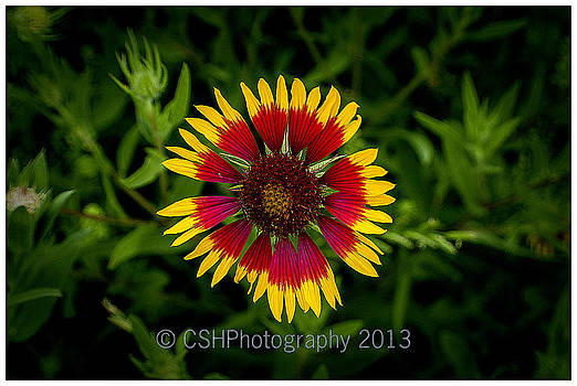Blanket Flower by CSH Photography