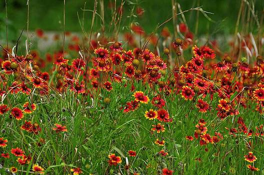 Blanket flowers by Diana Cannon