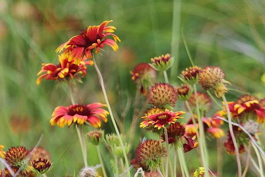 Blanketflower 15 by Cathy Lindsey