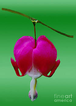 Bleeding Heart Bush Flower  by ImagesAsArt Photos And Graphics