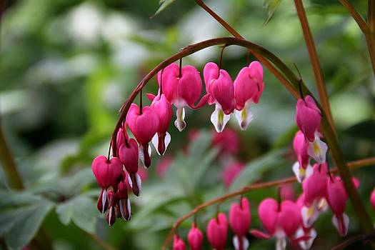 Bleeding hearts by Charlene Reinauer