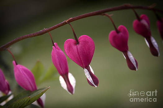 Cris Hayes - Bleeding Hearts