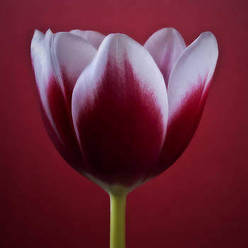 Abstract Red White Flowers Tulips Macro  Photography Art by Artecco Fine Art Photography