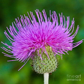 Blooming Common Thistle by Diana Black
