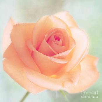 LHJB Photography - Blooming delicate rose