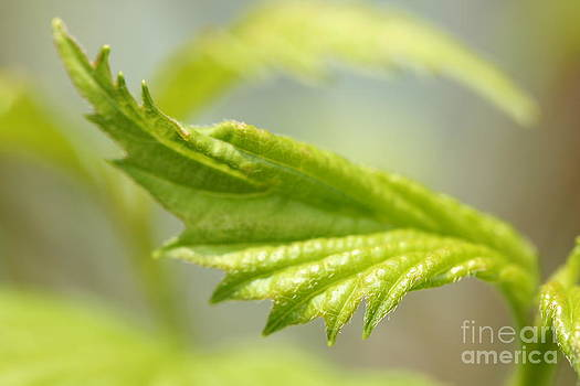 Blooming Leaf by Cindi Ressler
