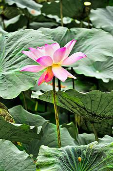 Blooming Lotus Flower Over Green Background by Keerati Preechanugoon