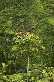 Charmian Vistaunet - Blooming Octopus Tree