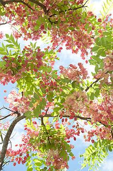 Charmian Vistaunet - Blossoming Pink Shower Tree
