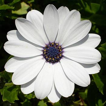 Tracey Harrington-Simpson - Blossoming White Osteospermum