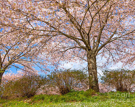 Blossoms by Nancy Harrison