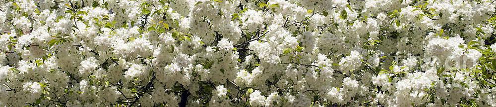 Blossoms by Tony Cordoza