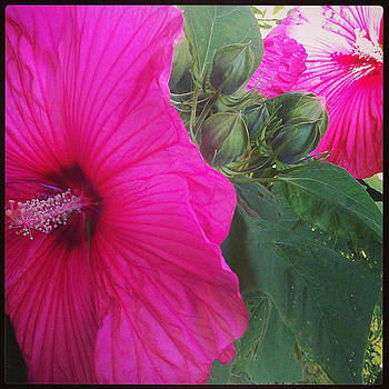 Blosssoms and Buds Hibiscus  by Brittany Perez