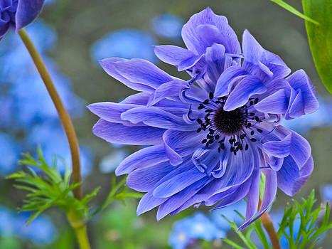 Blue Anemone Flower Blowing in the Wind by Eva Kondzialkiewicz
