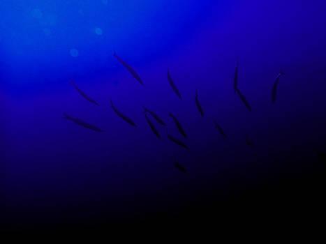 Blue Barracuda by Roberta Sassu