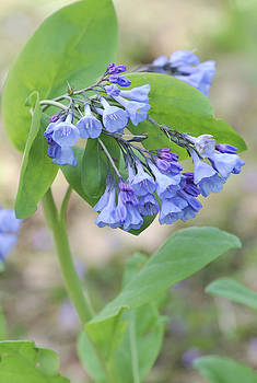 Blue Bells of Lapsley's Run by Phyllis Peterson