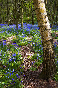 Svetlana Sewell - Blue Bells Path