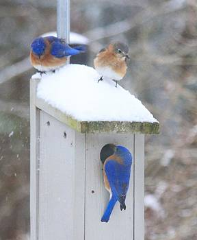 Blue Bird Family by Brad Fuller