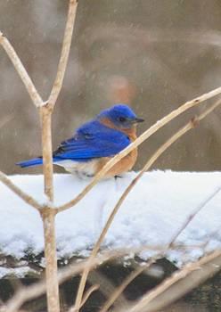 Blue Bird in Snow by Brad Fuller