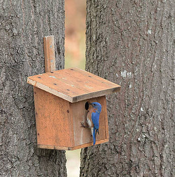 Blue Bird on Bird House by George Miller