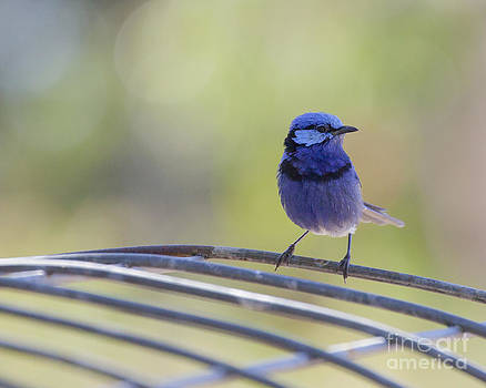 Blue Bird on Wire by Serene Maisey