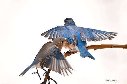 Randall Branham - Blue Birds in the Winter