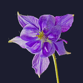 Blue bloom of an aquilegia by Pete Hemington