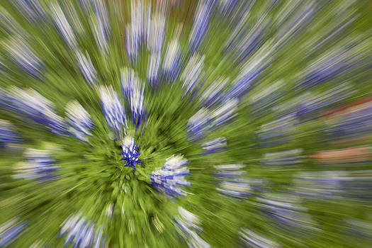 Blue Bonnet Explosion by Billy Lewis